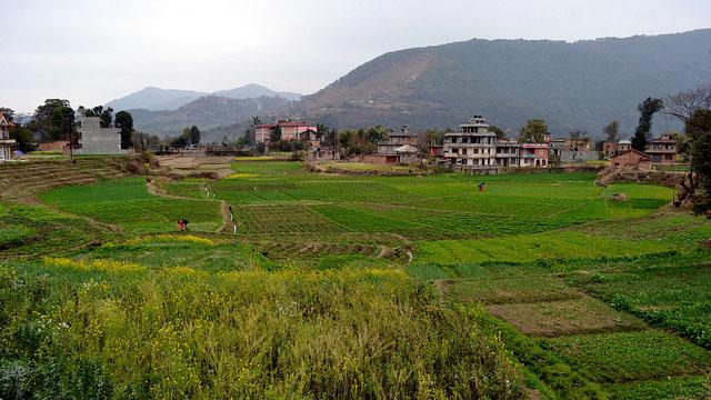 Green fields in Khokana.