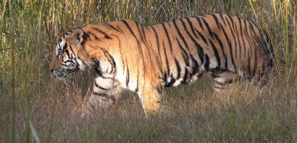 tiger-bardia