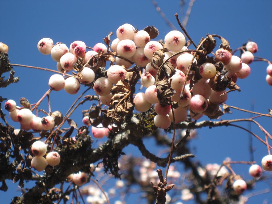 Flowers in Kangunjunga