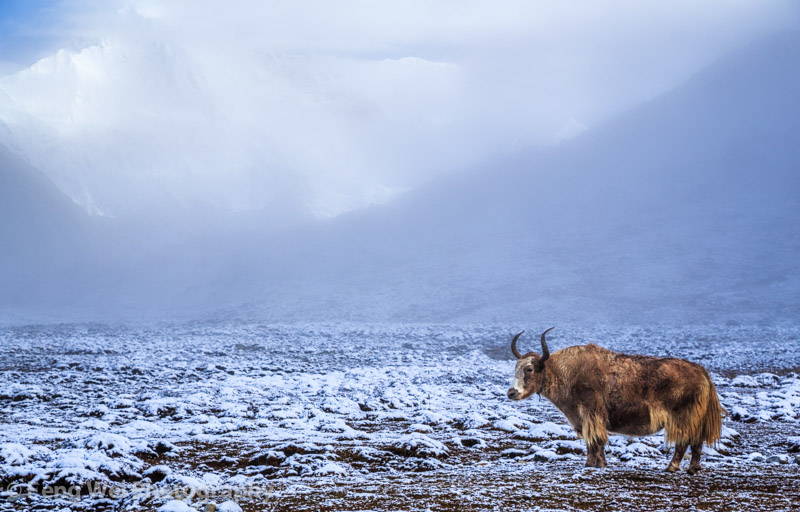 Lonely Yak @ Gokyo Village, Sagarmatha National Park, Nepal ---- Freng Wei
