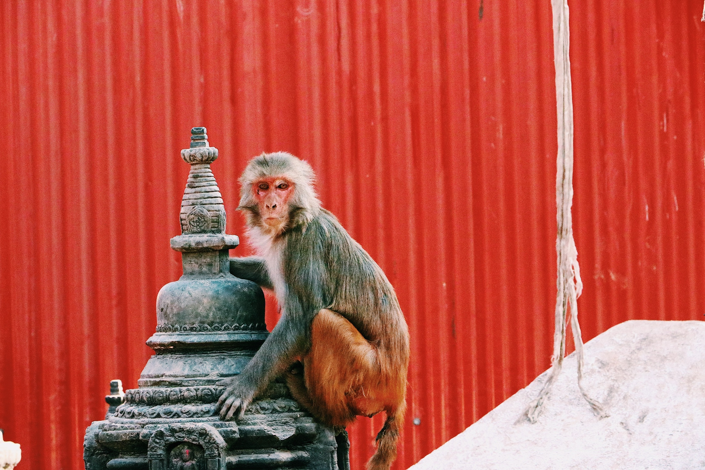 monkey-nepal-travel