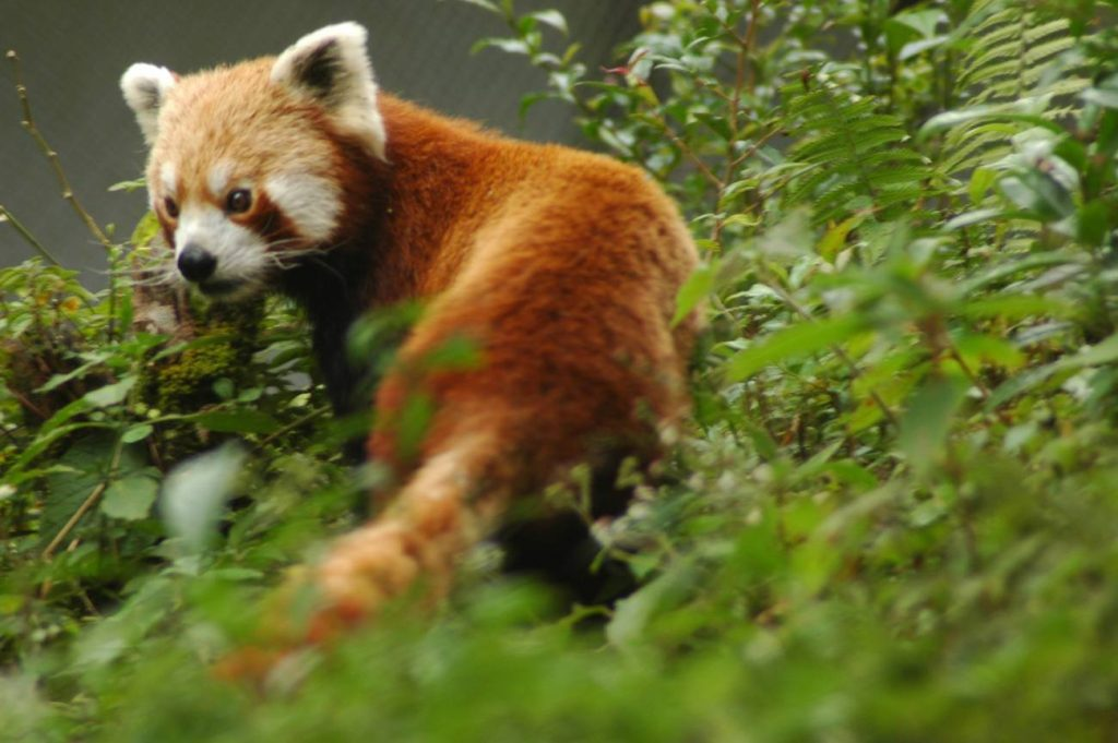 How to Spot Red Pandas and Dolphins in Nepal - BlogBlog