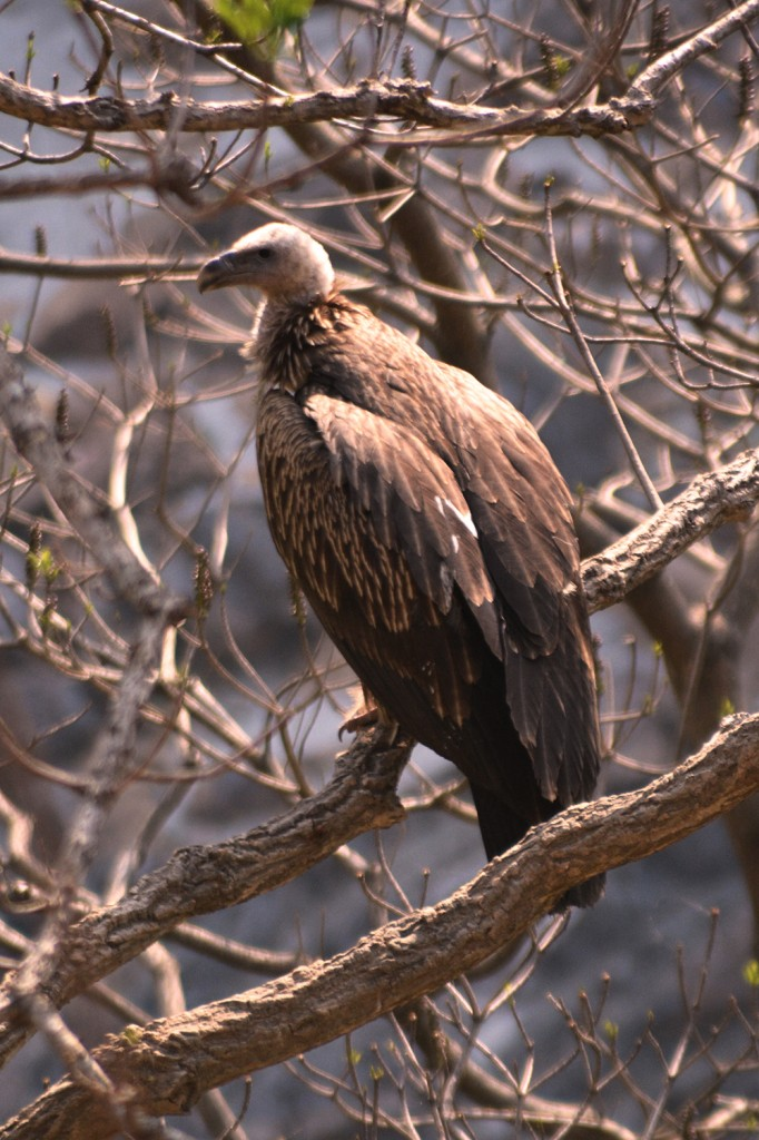 Nepal's vulture numbers show encouraging rise